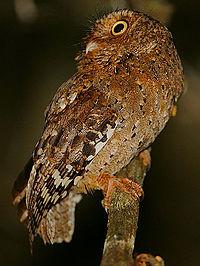 Flickr - Rainbirder - Sokoke Scops Owl (Otus ireneae).jpg