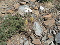 Flickr - brewbooks - Castilleja elmeri - descending from Long's Pass.jpg