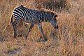 Flickr - ggallice - Plains zebra (1).jpg