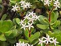 Flor de Crassula ovata IMGP0508.JPG