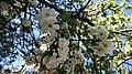 Flor de durazno2.jpg