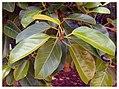 Flora of Florida-Ficus benghalensis 02.jpg