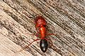 Florida Carpenter Ant - Camponotus atriceps, Everglades National Park, Homestead, Florida.jpg
