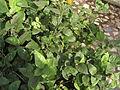 Flower, MULLAI 4.jpg