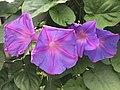 Flowers of Ipomoea nil 20190822-1.jpg