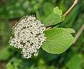 Flowers of Viburnum lantana 05.jpg