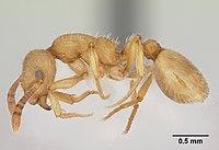 Formicoxenus chamberlini casent0103456 profile 1.jpg