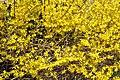 Forsythia bush.jpg