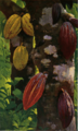 Fotg cocoa d055 cacao pods.png