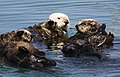 Four sea otters.JPG
