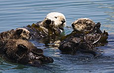Although it is a relatively new marine mammal lineage, the sea otter can live in the ocean at all stages of life.