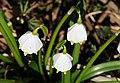 Frühlings-Knotenblume, Leucojum vernum 58.JPG