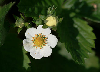 Fragaria vesca - Flower close-up