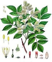 Fraxinus ornus - Köhler–s Medizinal-Pflanzen-062