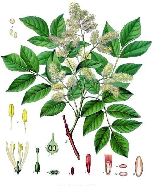 Detalle da especie (Fraxinus ornus)