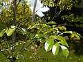 Fraxinus ornus 2016-05-09 9665.jpg