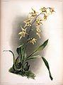 Frederick Sander - Reichenbachia II plate 79 (1890) - Odontoglossum hebraicum aspersum.jpg