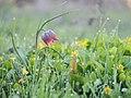 Fritillaria meleagris MZ 05.jpg
