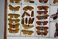 Fulgoridae Drawers - 5036697616.jpg