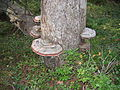 Fungus Polyporacea FI-EU 2007-Sep-8 by-RAM.jpg