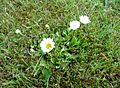 Gänseblümchen Juni 2010 (2).jpg