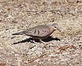 GROUND-DOVE, COMMON (3-16-11) sonoita creek state natural area, scc az -08 (5532531451).jpg