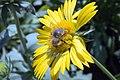 Gaillardia x grandiflora Golden Goblin 6zz.jpg