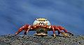 Galápagos Sally Lightfoot crab (Grapsus grapsus).jpg