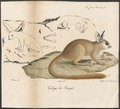 Galago senegalensis - 1818-1842 - Print - Iconographia Zoologica - Special Collections University of Amsterdam - UBA01 IZ19700159.tif