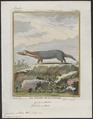 Galictis vittata - 1700-1880 - Print - Iconographia Zoologica - Special Collections University of Amsterdam - UBA01 IZ22500025.tif