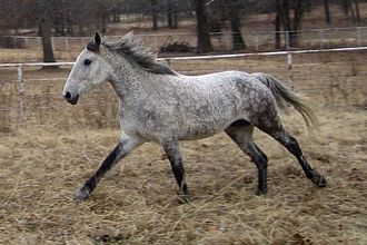 Curly Horse - A Curly in full winter coat