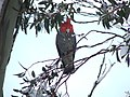 Gang-gang Cockatoo in the snow 2005.JPG