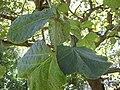 Gardenology.org-IMG 0334 rbgs10dec.jpg