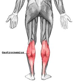 Muscolo Gastrocnemio Wikipedia