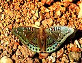 Gaudy Baron Euthalia lubentina Male by Dr. Raju Kasambe DSCN1050 (3).jpg