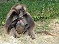 Gelada Baboon male.jpg