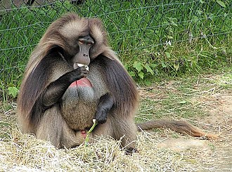 Colchester Zoo - Image: Gelada Baboon male