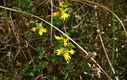 Knapheede af Knippere (Genista anglica)