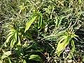 Gentiana cruciata sl23.jpg