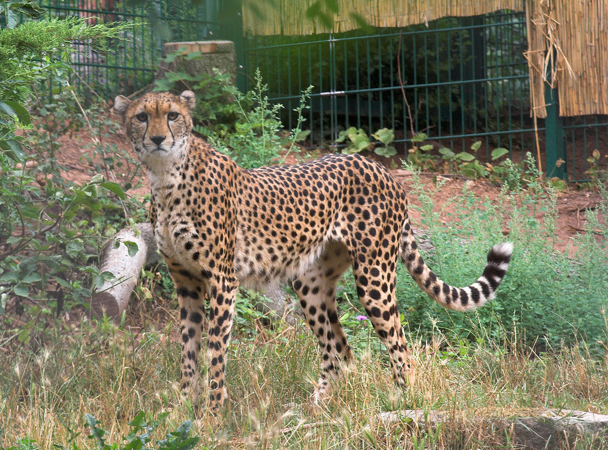 Image Result For Cheetah Coloring Pages