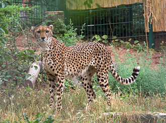 Sudan cheetah - A female Sudan cheetah in Zoo Landau, Germany