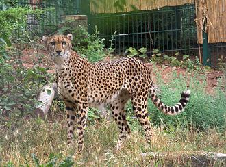 Sudan cheetah - A female Sudan cheetah in Zoo Landau, Germany