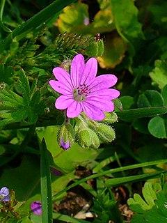 240px geranium molle 002
