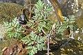 Geranium robertianum 127113060.jpg