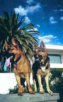 Gsd Show Dogs