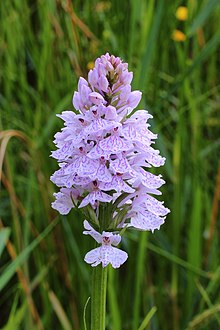 Gevlekte orchis. Orchis (Dactylorhiza maculata subsp. Maculata) 01.JPG