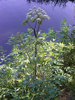 Angelica - Wild Angelica (Angelica sylvestris)