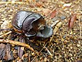 Giant Dung Beetle (Heliocopris andersoni) female (11683957995).jpg
