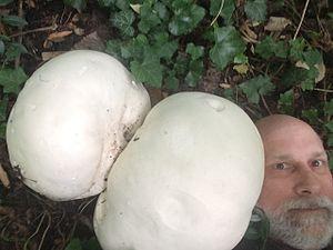 Calvatia gigantea - Giant Puffball Mushroom next to human head for scale. Darien, CT