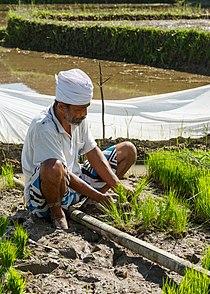 Gianyar-Regency Bali Indonesia A-rice-farmer-working-in-his-paddy-01.jpg